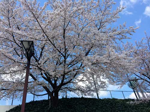 大宮公園の桜のように大宮の攻撃陣に花が開くのか。。。