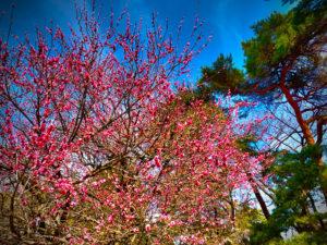 桃の花が春の到来を告げていた